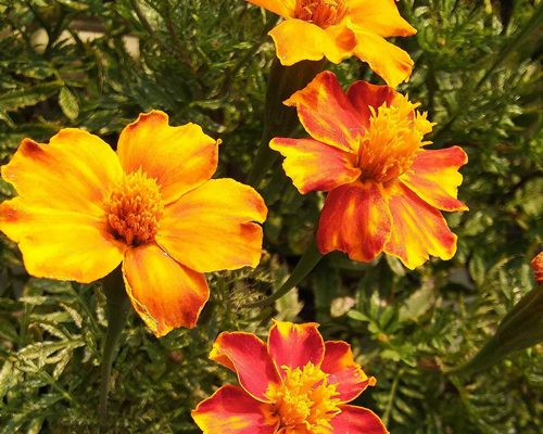 Marigold rooftop garden dietplus